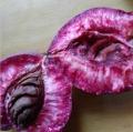 供应桃树苗新品种紫桃苗