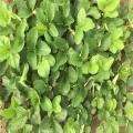 俏佳人草莓苗報價 俏佳人草莓苗供應