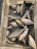 大量供應自生鯽魚 水產品批發零售 可送貨