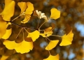 银杏河北优质银杏树10公分粗银杏树管型优美