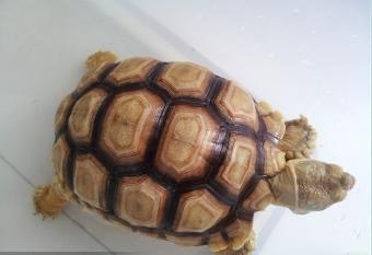 缅甸陆龟星龟
