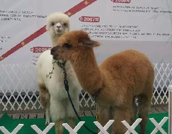 动物羊驼出租 马戏团表演