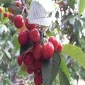 2020年白玉櫻桃苗種植基地 白玉櫻桃苗種植基地