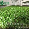 豌豆苗種植技術菜之初免費培訓