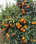 供應千思農林高度30公分以上無核沃柑苗