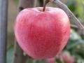 2公分紅肉蘋果苗畝產