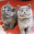 廣州寵物貓純種藍貓智商藍貓好養