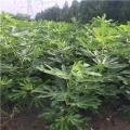 日本紫果无花果苗新品种、日本紫果无花果苗价格多少