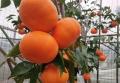 基地直發地徑1公分高糖雜柑明日見柑橘苗