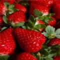 新?#20998;址?#20848;地草莓苗基地、法兰地草莓苗批发价格