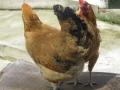 渝北正宗小土雞散養方法 渝北小青腳土雞苗