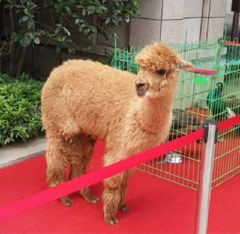 上海羊驼出租 动物表演