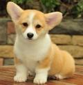 廣州番禺賣狗的位置 大石買柯基犬貴不貴 柯基犬舍