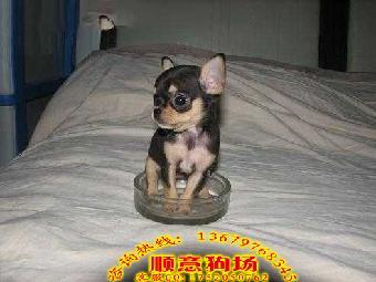 珠海那里有卖宠物狗吉娃娃狗 三色吉娃娃一只