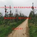 新西兰红玫瑰苹果苗、苹果苗批发 新西兰红玫瑰苹果苗