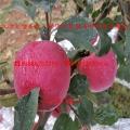 莫迪苹果苗、莫迪苹果苗基地