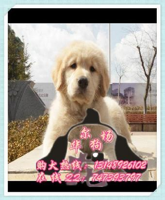 广州/广州哪个狗场信誉好纯种金毛导盲犬多少钱一只