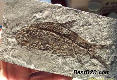 华豫之门古钱币v视频鱼视频中年人化石图片