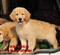賽級金毛犬出售 北京英系金毛價格 京博犬舍直銷