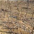 新品種梨樹苗、新品種梨樹苗價格及報價