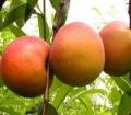 早紅蜜杏樹苗批發價格品種特點簡介