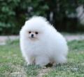 广州哪有卖狗的网站 芳村在哪里有卖博美 博美多少钱