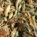 小龙虾苗,小龙虾苗价格,优质小龙虾苗批发