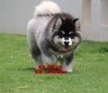 熊版阿拉斯加哪里賣 阿拉斯加價格 京博犬舍直銷