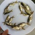 山西忻州月鱧魚苗,四川達州縮骨大頭魚苗批發價格水中