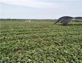 妙香草莓苗 畝產