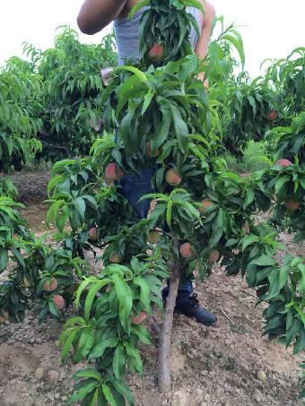 四川桃树苗品种 桃树苗价格