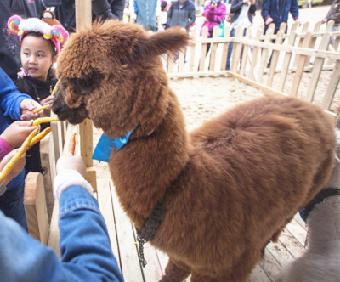 桂平市-羊驼租赁.动物表演