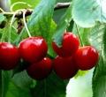 供應黑珍珠櫻桃苗種植基地 黑珍珠櫻桃苗種植基地