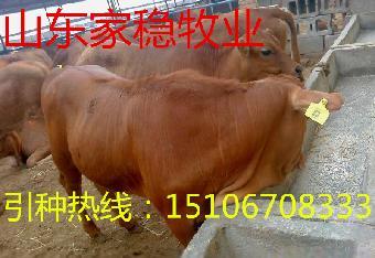 标准化养牛场平面设计图 鲁西黄牛养殖技术