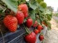 宁玉草莓苗多少钱 宁玉草莓苗价格