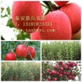 矮化優質蘋果苗 蘋果苗批發