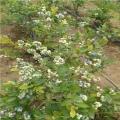 出售芬蒂蓝莓树苗、芬蒂蓝莓树苗价格多少、芬蒂蓝莓树苗基地