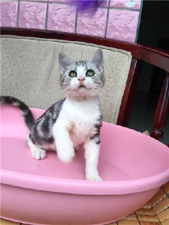 广州哪里有家养猫咪出售