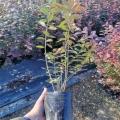 自由藍莓苗銷售價位、自由藍莓苗