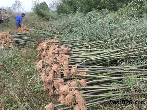 三門峽2公分剛竹園林綠化選擇