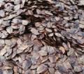 杉树种子育苗一亩地要多少斤-速生杉树种子批发邮购