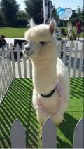 羊驼萌宠出租价格哪里有动物租赁展览最高赔率公司