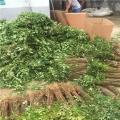 花椒樹苗根系發達