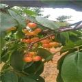 大棚草莓苗哪里有卖的大棚草莓苗怎么卖的