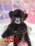 茶杯泰迪犬 韓系純種泰迪犬出售