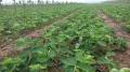 土特拉草莓苗批發價 土特拉草莓苗多少錢一株