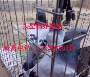 出售俄罗斯短发鸽头型二三十岁男价格图片