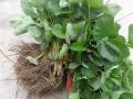章姬草莓苗多少钱 章姬草莓苗基地