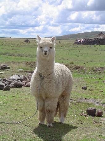 羊驼动物展示庆典