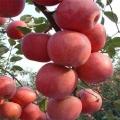 煙富0號蘋果苗供應、煙富0號蘋果苗去哪買